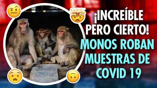 monos roban muestras con coronavirus